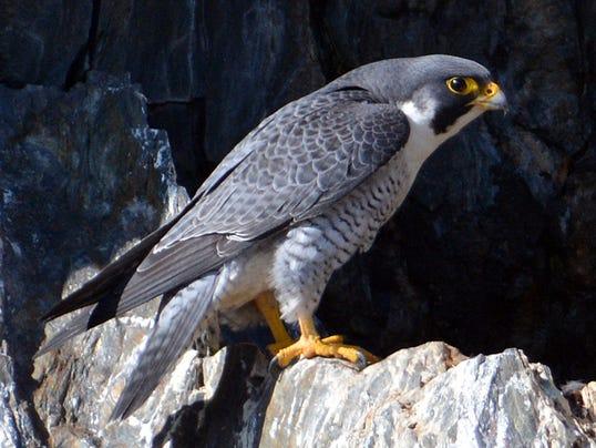 BUR20151111 Peregrine-Falcon