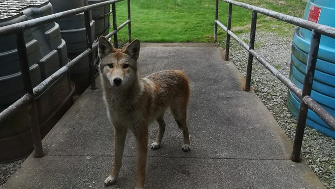A curious coyote was spotted on Butler's campus.