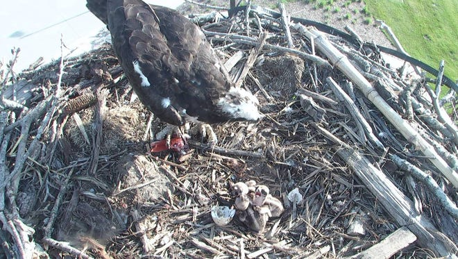 Three osprey eggs hatched this week in the nest at Wells Fargo's West Des Moines campus.