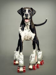 """This Sept. 13, 2007 photo provided by pet photographer Rachael Hale McKenna shows one of her """"clients,"""" Kizzie a 6-year-old boxer-Dalmatian mix, in a commissioned portrait taken in New Zealand."""
