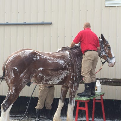 Washing the horses is a two-man job. One handler stands