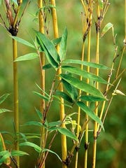 Clump-forming bamboos include Golden Goddess and Sunset Glow, available this year through Monrovia, a grower of plants sold at garden centers nationwide. (Courtesy Monrovia/MCT)