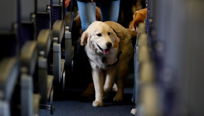 A servicedogstrolls down the aisle in a United Airlinesplaneat Newark Liberty International Airport while taking part in a training exercise. Delta Air Lines says that for safety reasons it will require owners of service and support animals to provide more information before they are allowed in the passenger cabin.