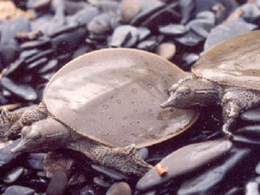 Spiny softshell turtles bask on a cobble beach along lake champlain in
