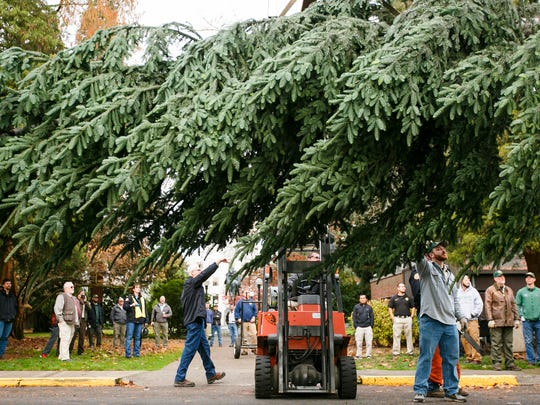 A forklift supports the weight of the 30-foot Noble fir tree as crews with the Oregon Department of Forestry prepare to carry the tree inside the Capitol Rotunda on Thursday, Nov. 17, 2016.