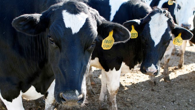 Wisconsin's popular identity owes quite a bit to cows, their milk and culinary staples like cheese and ice cream.