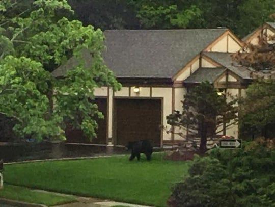 A black bear strolls along a front yard in North Haledon