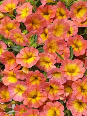 As part of the Superbells group of calibrachoa, Coral Sun doesn't need deadheading.