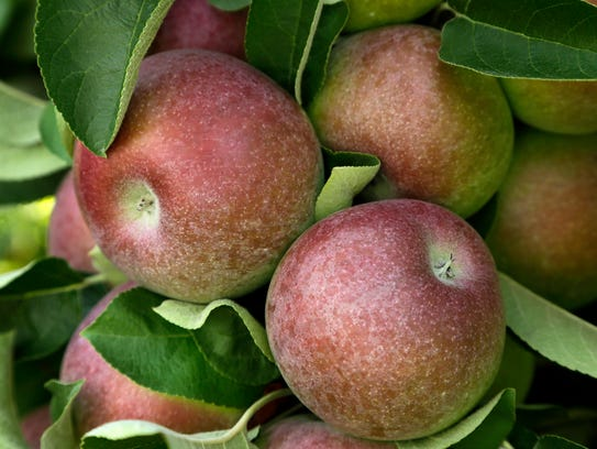 In this Aug. 30, 2015, file photo, McIntosh apples