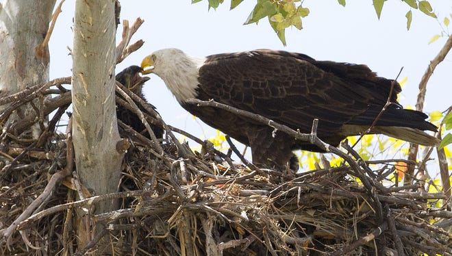 A female bald eagle returns to her Scottsdale nest to feed her two eaglets. Did you know? Nestlings are bigger than adults when they leave the nest, as their larger feathers aid in their first year of flight.