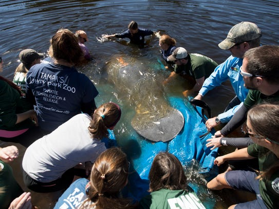 A manatee is released back to the wild at Orange Harbor