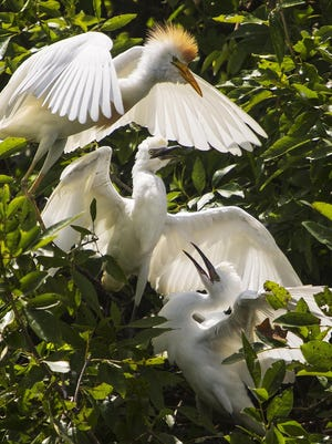 Cattle egrets gather in a rookery during nesting season. They tend to fly some distance to eat during the day then return to their roost at night. The large birds crossing over airports and runways causes a dangerous risk for bird-aircraft collisions.