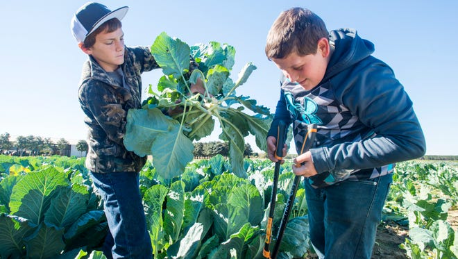 Tate High School 9th graders Austin Freeman, left, and Brandon Davis pick collard greens at the University of Florida West Florida Research and Education Center in Jay, FL on Monday, November 21, 2016.