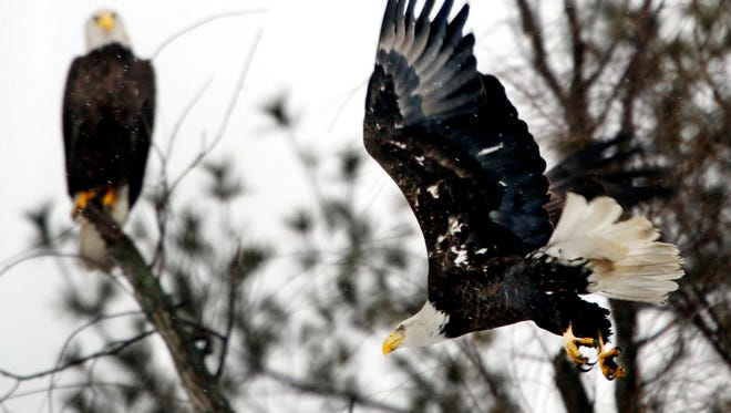 A bald eagle takes flight Monday, Feb. 1, 2016, at the Museum of the Shenandaoh Valley in Winchester, Va.
