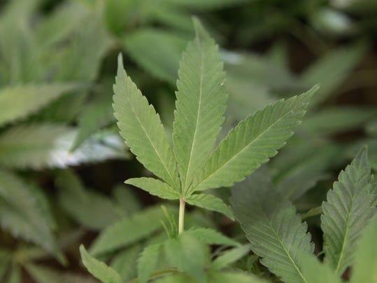 sby marijuana leaves