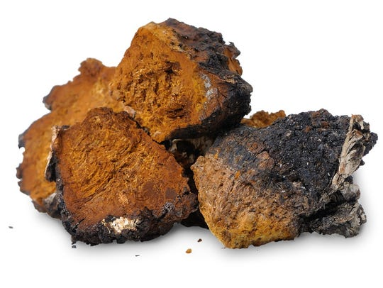 "Chaga is considered the ""king of mushrooms"" and can"