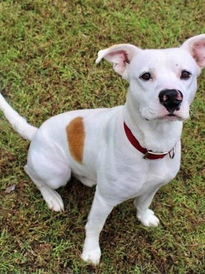 Sean is a stunning white Pibble who loves people but doesn't like to share their attention with other pets.