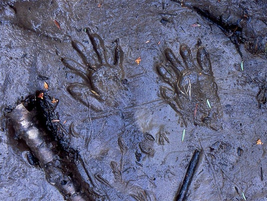 636673665257284587-raccoon-tracks-in-mud.jpg
