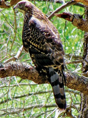 A goshawk finds good hunting territory with the return on small mammals feasting on the ground cover.