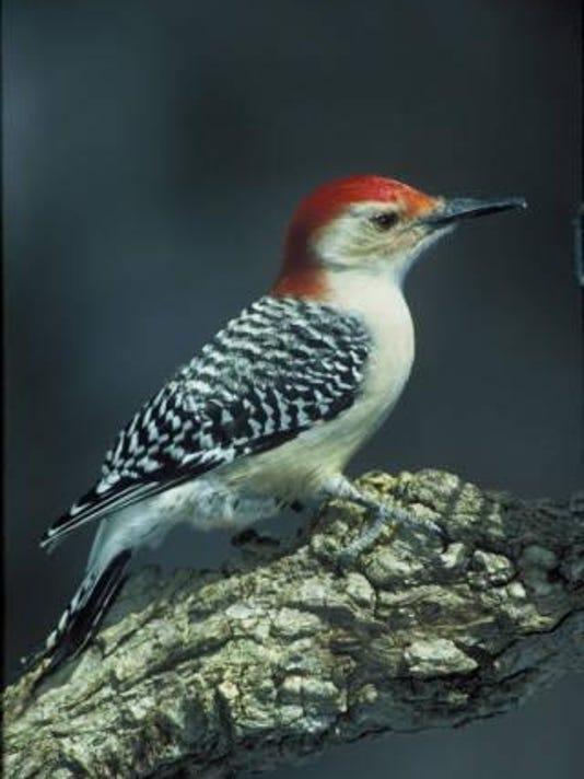 Redbellied_Woodpecker