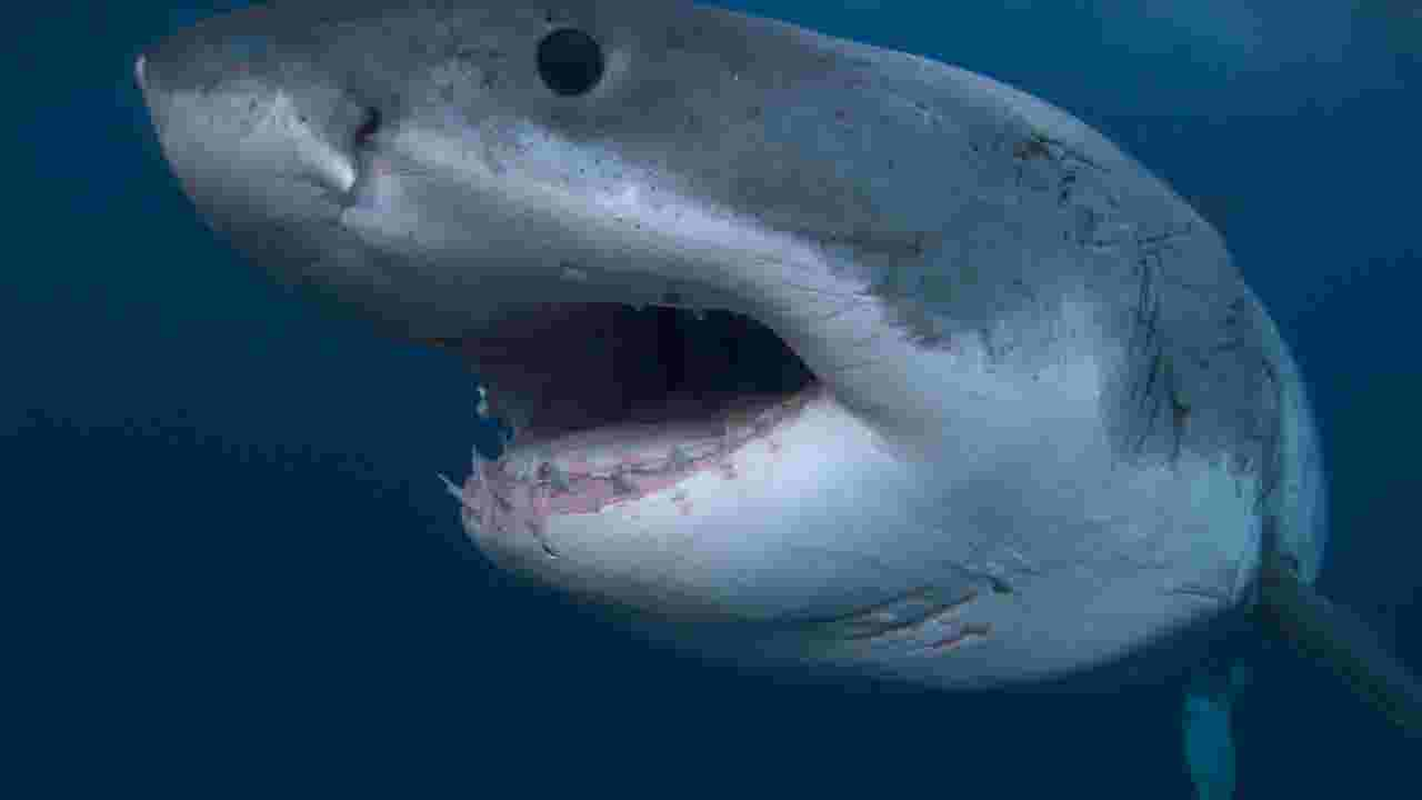 White of great pics sharks