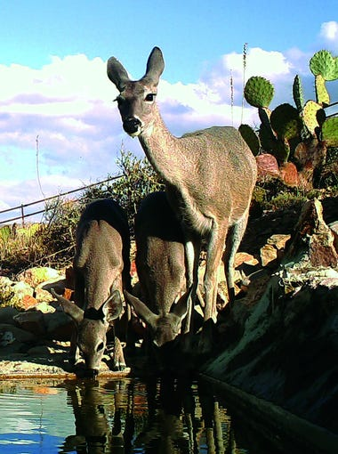 Deer drink water from a catchment maintained by the Arizona Game and Fish Department.