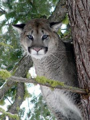 File photo of a cougar.
