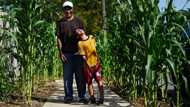 Gumercindo Minaya and his grandson, 6-year-old Nelvin Minaya, stand among the corn they planted on North Hartley Street at Madison Avenue in York. Gumercindo's daughter, Dolores Minaya, says she knew he was planting corn in her backyard but didn't realize he'd also planted along their sidewalk until it was too late.