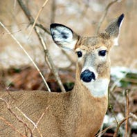 Area hunters have specific rules for harvesting deer in chronic wasting disease areas
