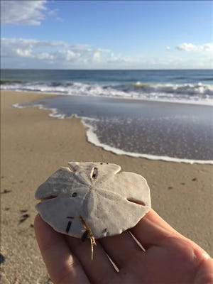A lucky beachcomber finds a sand dollar while walking on the beach along Turtle Trail in Indian River Shores. Reader-submitted photo.