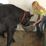 """She's no delicate tiaraed diva of the fairgrounds. Fowlerville Family Fair Queen BreAnn Fetner pulls her own weight in 4-H activities, including doing her required stint cleaning up the beef barn. The 17-year-old Fetner is heavily involved in 4-H mentoring programs in addition to all of her queen responsibilities. Of her hectic pace at this year's fair, Fetner says: """"This is busy. But I love it."""""""