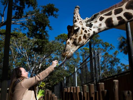 Ashely Collins feeds Bruehler the giraffe on Thursday,