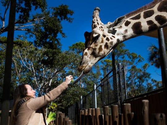 Ashely Collins feeds Bruehler the giraffe on Thursday, January 4, 2017 at the Naples Zoo.