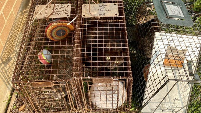 The Denison Animal Welfare Group recently started a new program where it will trap, neuter and release community cats back as a part of humane population control efforts.