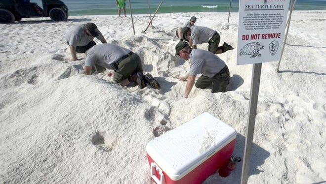 National Park Service staff members search the nesting area of a Leatherback Sea Turtle for the turtle's egg cavity on Santa Rosa Island Wednesday morning. The last known Leatherback Sea Turtle nesting on Santa Rosa Island was in 2000.