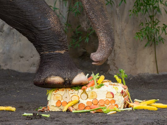 Asian elephant Packy eats a cake on his 53rd birthday.