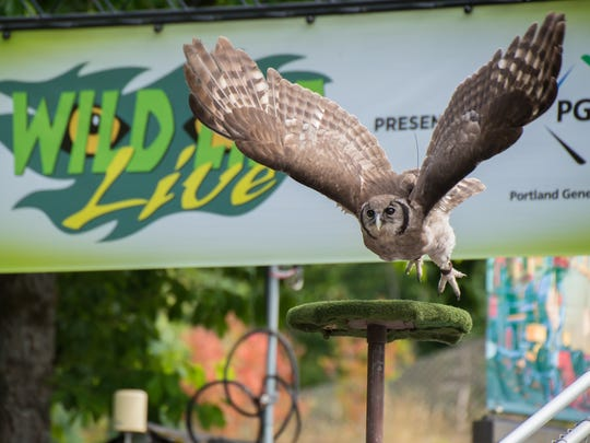 Milky eagle owl Kamaria flies in the Wildlife Live demonstration at the Oregon Zoo.
