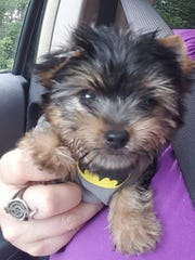 Jada Padilla Cortes, 14, received a teacup Yorkie puppy on Aug. 1 from the local chapter of the Make-A-Wish Foundation. Cortes named her new puppy, Wish.