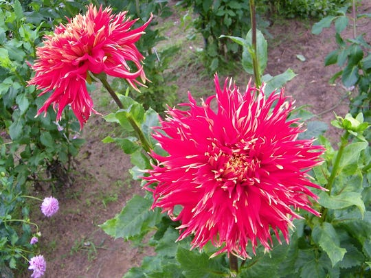 Binger grows about 50 varieties of dahlias, including this one, which shows that not all dahlias keep to the traditional round shape.