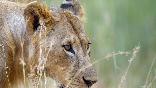 A lion charged and killed a safari guide who was leading a group of tourists in the same national park in Zimbabwe that was the home of Cecil the lion who was killed by a bow hunter in July.