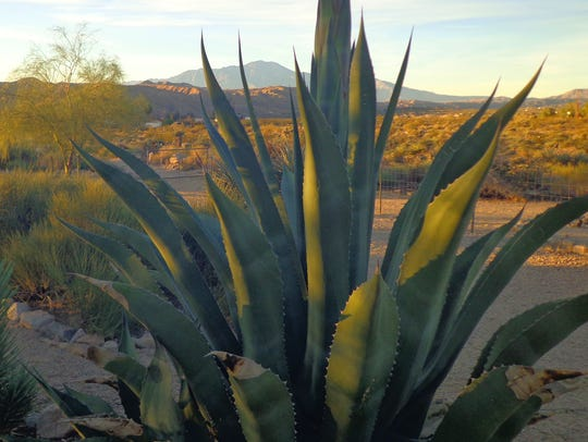 Morongo Valley Agave salmiana blooming this year with