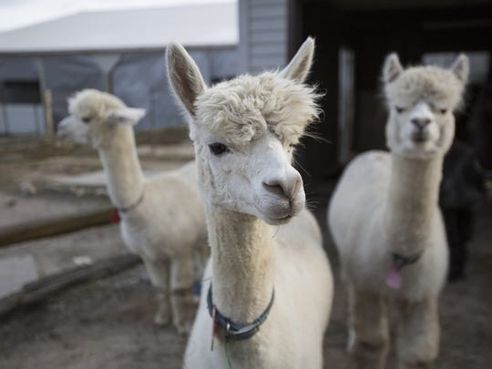 "Enjoy an evening on the LondonDairy Alpaca Ranch in Two Rivers for the ""Wine with the Alpacas"" event on Saturday."