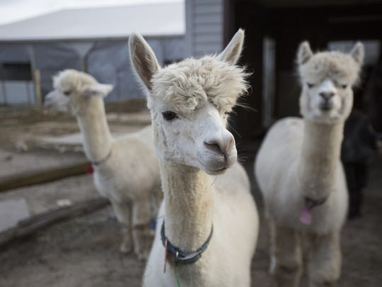 Three alpacas at the LondonDairy Alpacas Ranch Wednesday,