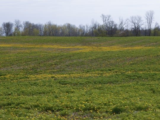 Dandelions ravage the alfalfa fields because of the