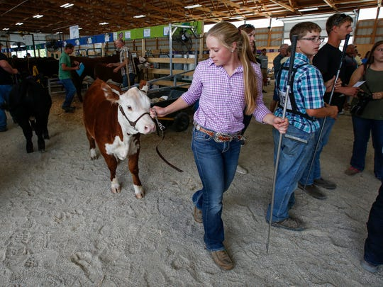 Vanessa Roberts, 17, of Whitelaw brings in her calf for the Junior Fair Beef and Open Class Beef judging on the second day of the Manitowoc County Fair Wednesday, Aug. 23, 2017, in Manitowoc, Wis. Roberts has been showing cattle since she was 10 years old. Josh Clark/USA TODAY NETWORK-Wisconsin