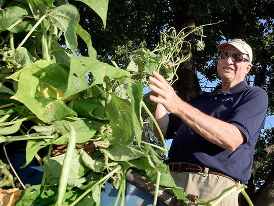 Penn State Cooperative Extension master gardener Frank Reed of Springettsbury Township picks green beans from uprooted plants at the Gardens at John Rudy County Park. The plants were removed to make room for a planting of cole crops, which are a family of greens that grow best in cooler weather. For more photos from the gardens, see Page C6.