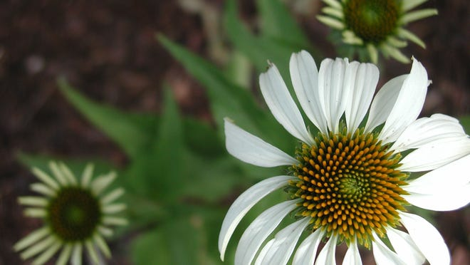 Coneflower (Echinacea) should be divided every three to five years if it has declined in vigor or the center is dying.