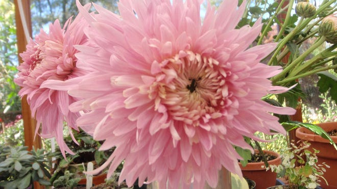 Pearl Edward Shaw is a type of disbud mum that can bloom several inches in diameter.
