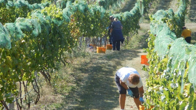 Picking grapes at the Parallel 44 Harvest Fest this year.