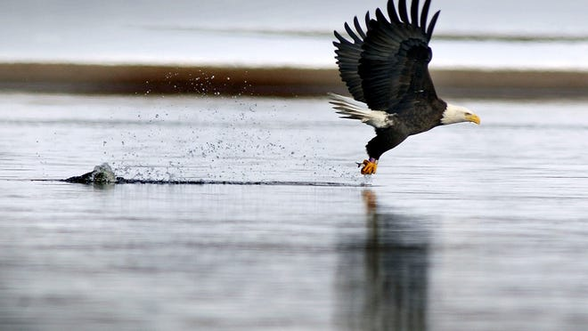 A bald eagle carries a small fish in its talons and leaves a mark behind on the Wisconsin River near Sauk City.